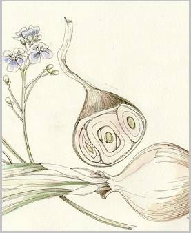 garlic cropped for blog