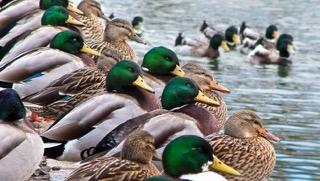 can-ducks-fly_1512ec3bc740d271