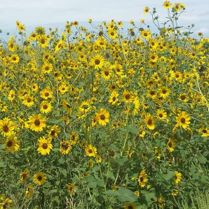 By USFWS Mountain-Prairie (Sunflowers) [CC BY 2.0 (http://creativecommons.org/licenses/by/2.0) or Public domain], via Wikimedia Commons